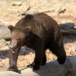 Brown bear alaska — Stockfoto