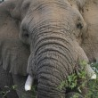 Stock Photo: Elephant african