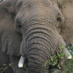 Elephant african — Stock Photo #33394931