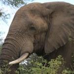 Elephant african — Stock Photo #33395069