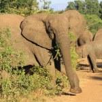 Elephant african — Stock Photo #33395491