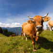 Stock Photo: Cow mountain - Kuh in Bergen