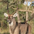 Waterbuck Kruger Nationalpark — Stock Photo
