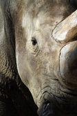 Rhino white black — Stock Photo