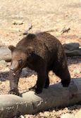 Brown bear alaska — Stock Photo