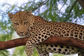 Leopard — Stock Photo