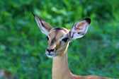 Impala Kruger Nationalpark — Stock Photo