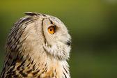 Owl - Edule — Stockfoto