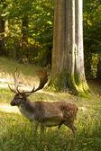 Deer natur — Stock Photo