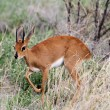 Stock Photo: Common duiker