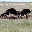 Jackal Vulture — Stock Photo