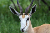Impala thomson gazelle — Stock Photo