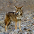 Stock Photo: Coyote death valley