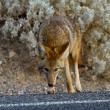 Coyote death valley — Stock Photo