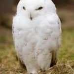 Snow owl — Stock Photo
