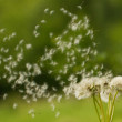 Dandelion — Stock Photo #35916917