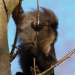 Stock Photo: Baboon