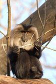 Baboon — Stock Photo