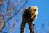 Coatis — Stock Photo