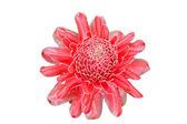 Red flower of etlingera elatior White background — Stock Photo