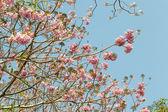 Pink pantip tree — Stock Photo