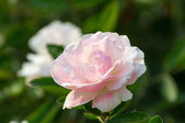 Beautiful heritage rosa species with scented flowers blooming in — Stock Photo
