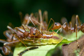 Ants aphids. Close up. — Stock Photo
