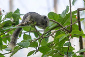 Squirrel Queen Sirikit Park, Bangkok. — Stock Photo