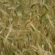Highland barley — Stock Photo