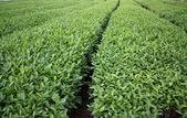 Tea field — Stock Photo