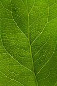 Yaprak damarı — Stok fotoğraf