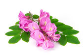 Purple sophora flower — Stock Photo