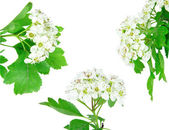 Hawthorn blossom — Stock Photo