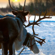 Stock Photo: Northern deer