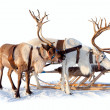 Reindeers in harness — Stock Photo