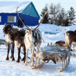 Northern deer are in harness on snow — Stock Photo #33520487