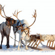 Reindeers in harness — Stock Photo #33522573