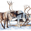 Northern deer on snow — 图库照片
