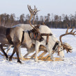 Reindeers in harness — Foto Stock