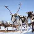 Reindeers in harness — Stock Photo #33524029