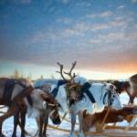 Northern deer — Stock Photo