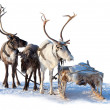 Three northern deer are in harness — Stock Photo #33524169