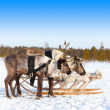 Reindeers in harness — Stock Photo #33524175
