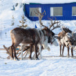 Northern deer are in harness on snow — Stock Photo