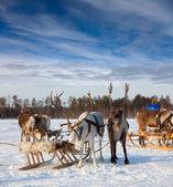 Reindeer safari — Stock Photo