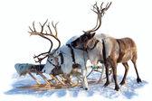 Cervo settentrionale sulla neve — Foto Stock