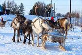 Cervo settentrionale è nel fascio sulla neve — Foto Stock