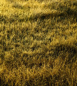Dry grass texture — Stock Photo