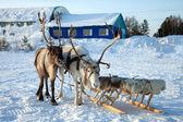Północnej jelenia na śniegu — Zdjęcie stockowe