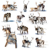 Northern deer on snow — Stock Photo